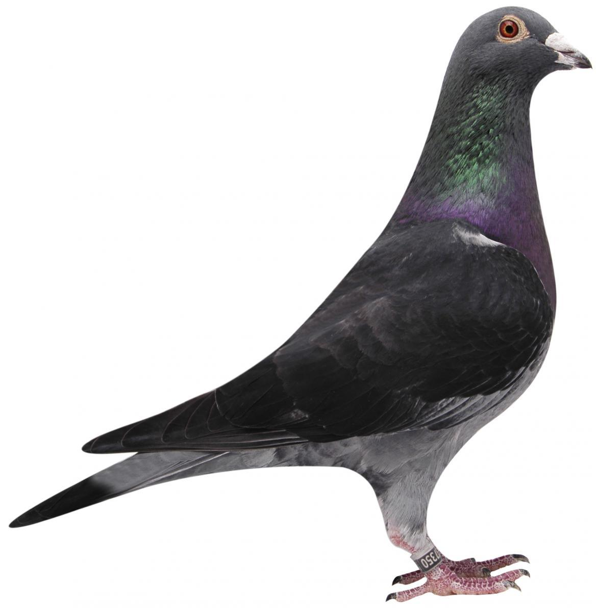 "Picture of pigeon B01-6387350 ""Barco"""