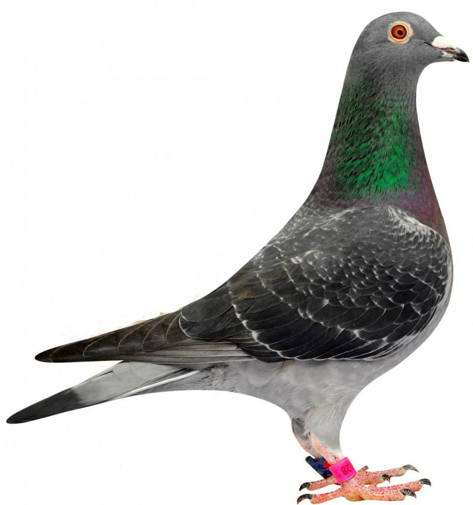 "Picture of pigeon B08-6144028 ""Dina"""