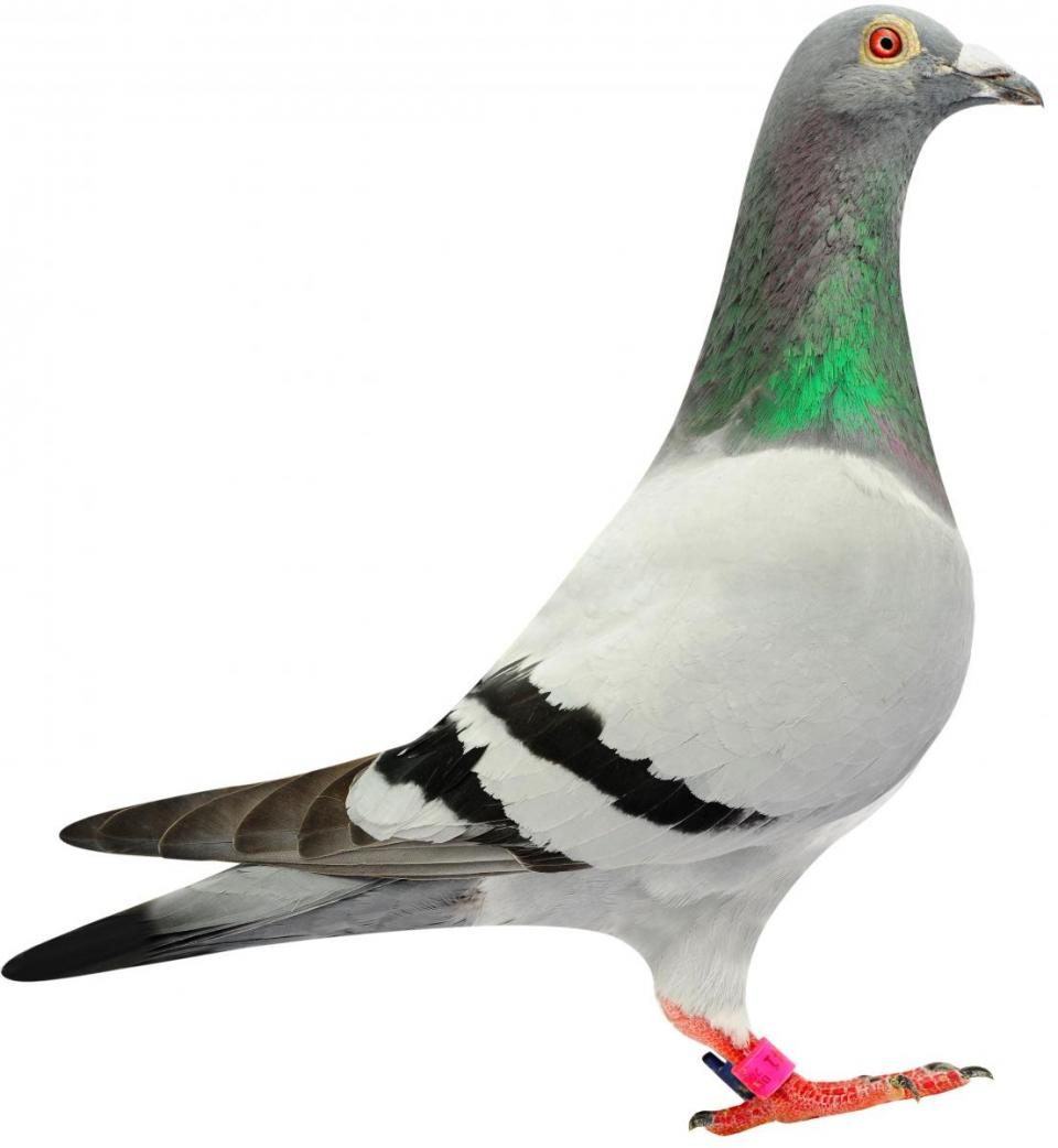 """Picture of pigeon B08-6144041 """"Mambo"""""""