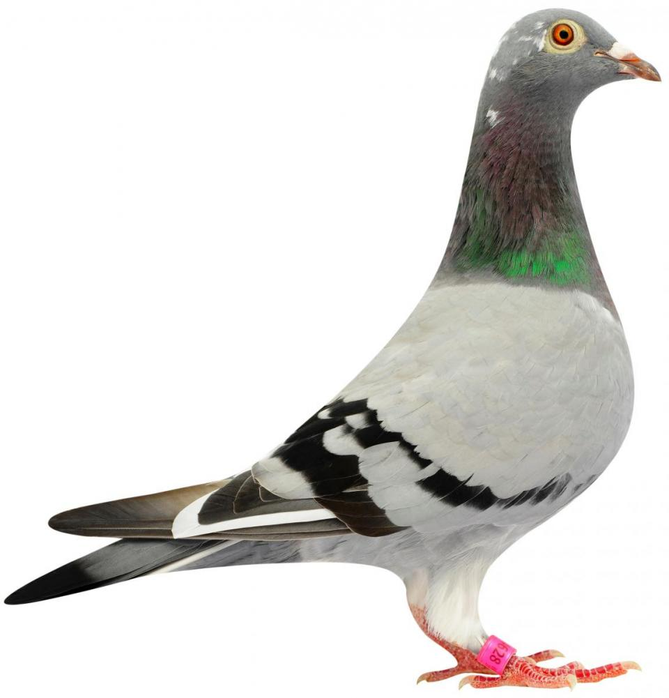 "Picture of pigeon B08-6174628 ""Polina"""