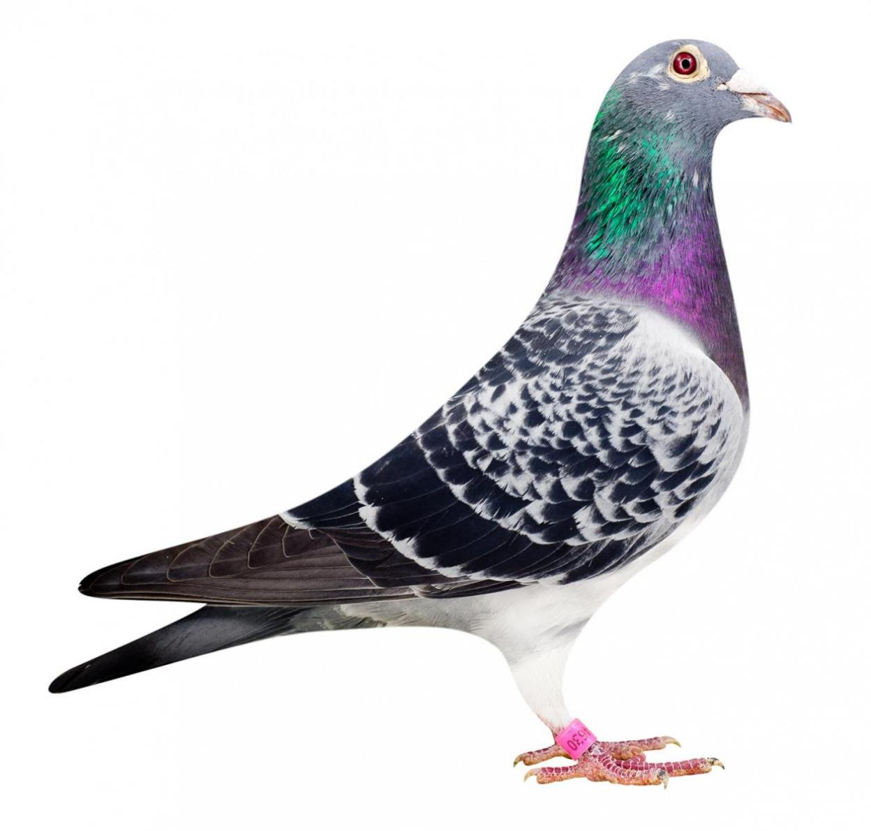 "Picture of pigeon B08-6174630 ""Elektro"""