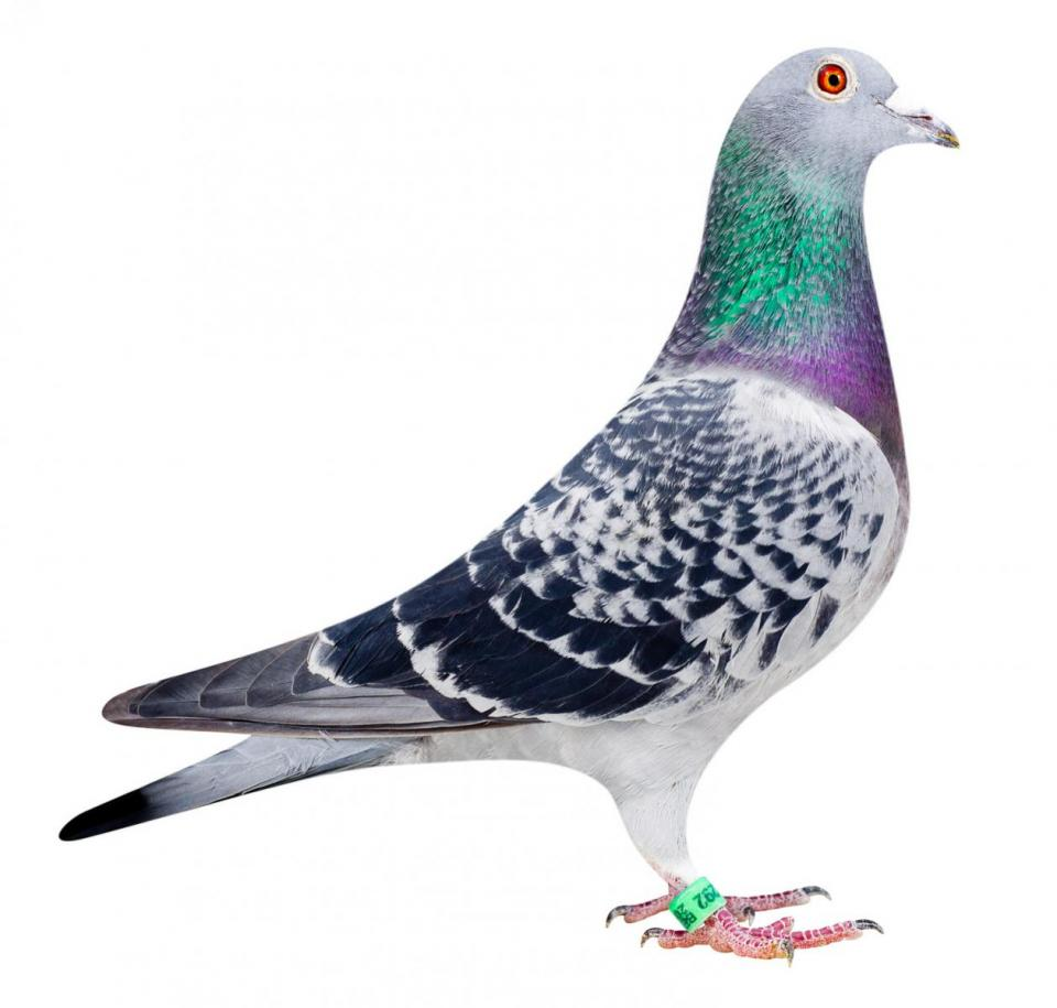 "Picture of pigeon B10-6052292 ""Latina"""