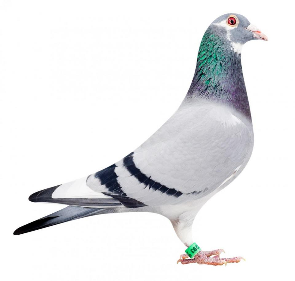 "Picture of pigeon B10-6052293 ""Shakira"""