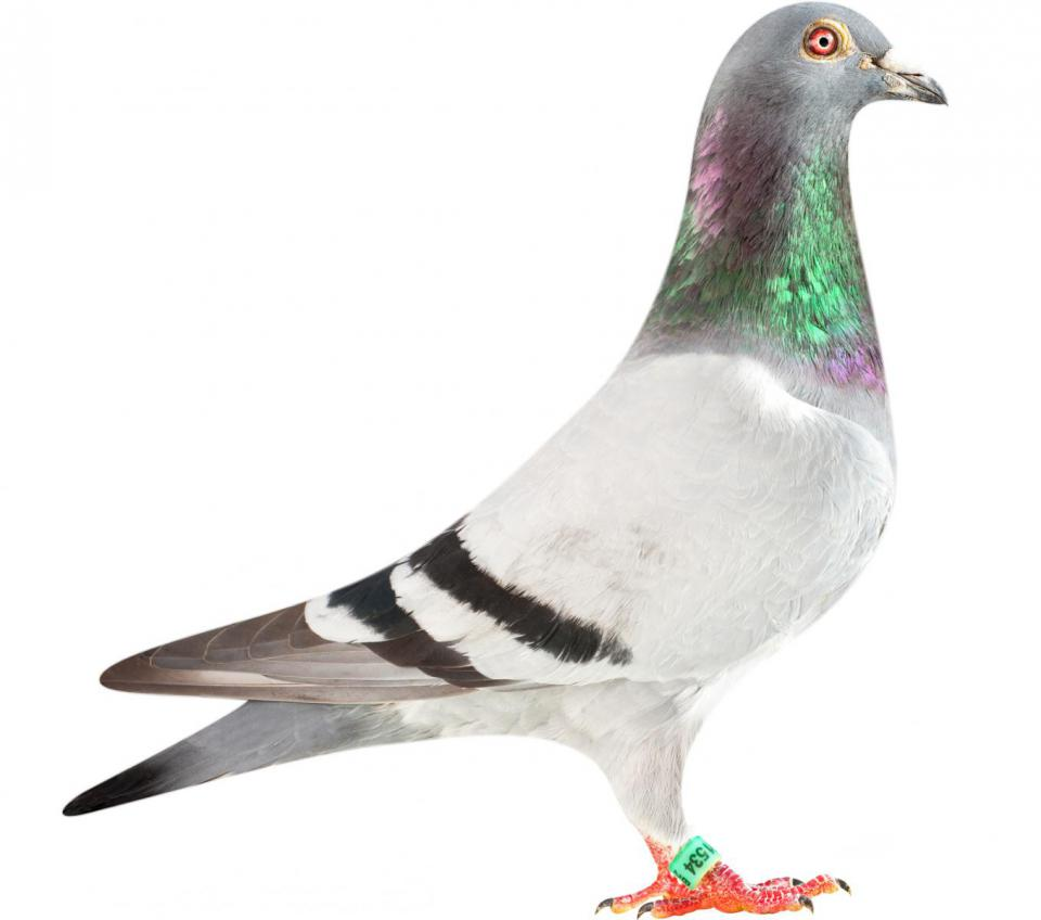 """Picture of pigeon BE10-6251534 """"Milos"""""""