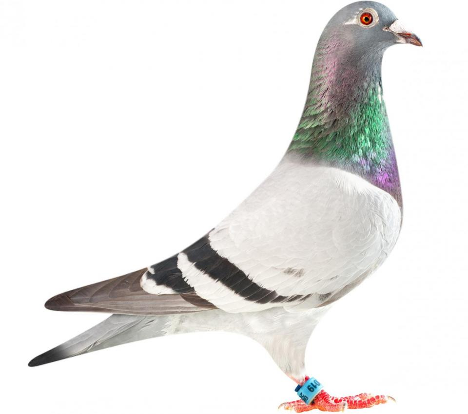 "Picture of pigeon B11-6282019 ""Super Lady"""