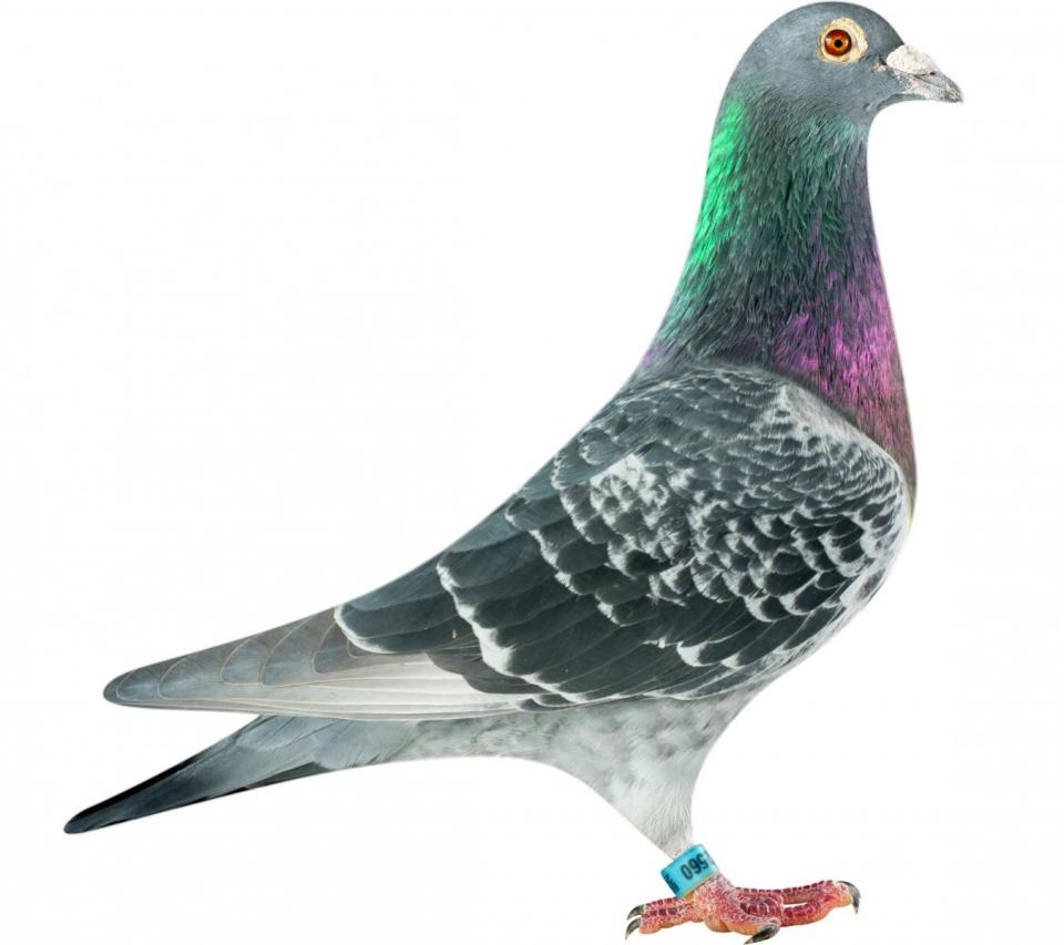 "Picture of pigeon B11-6282560 ""Romeo Panter"""
