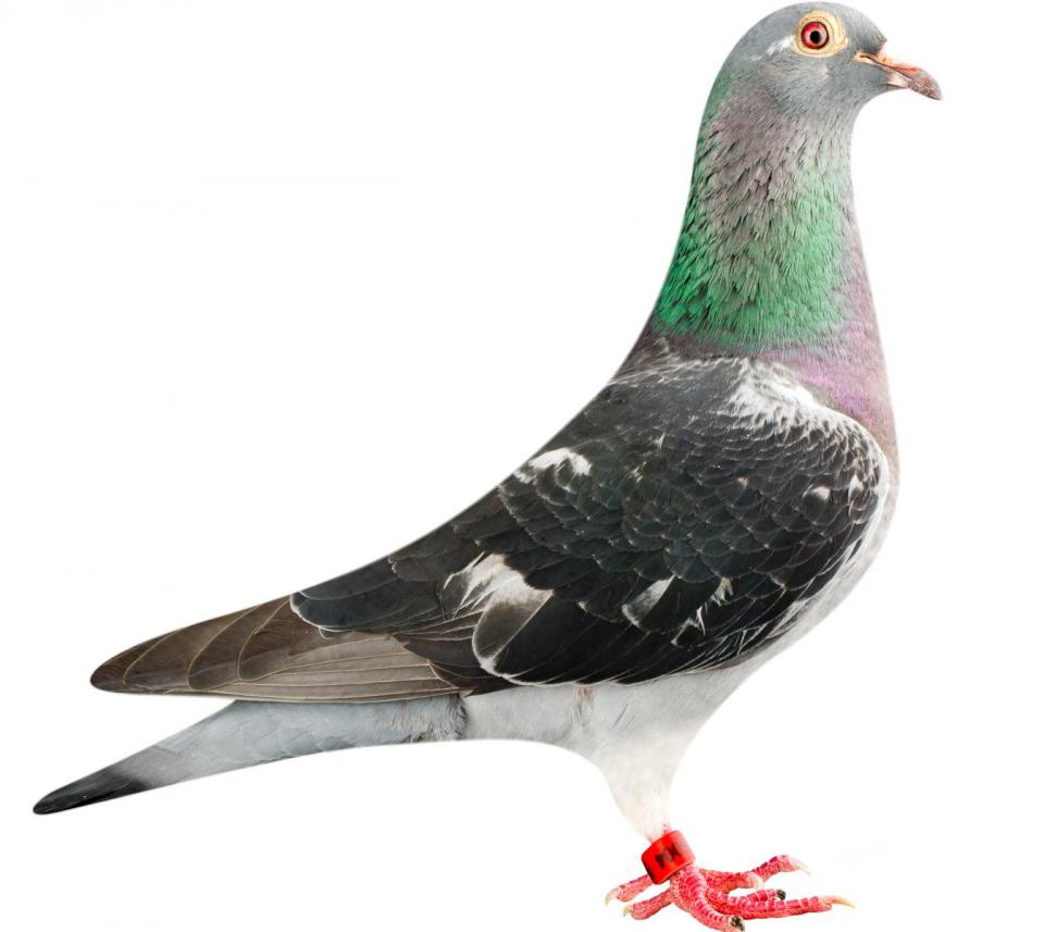 "Picture of pigeon B12-6196004 ""Doha"""