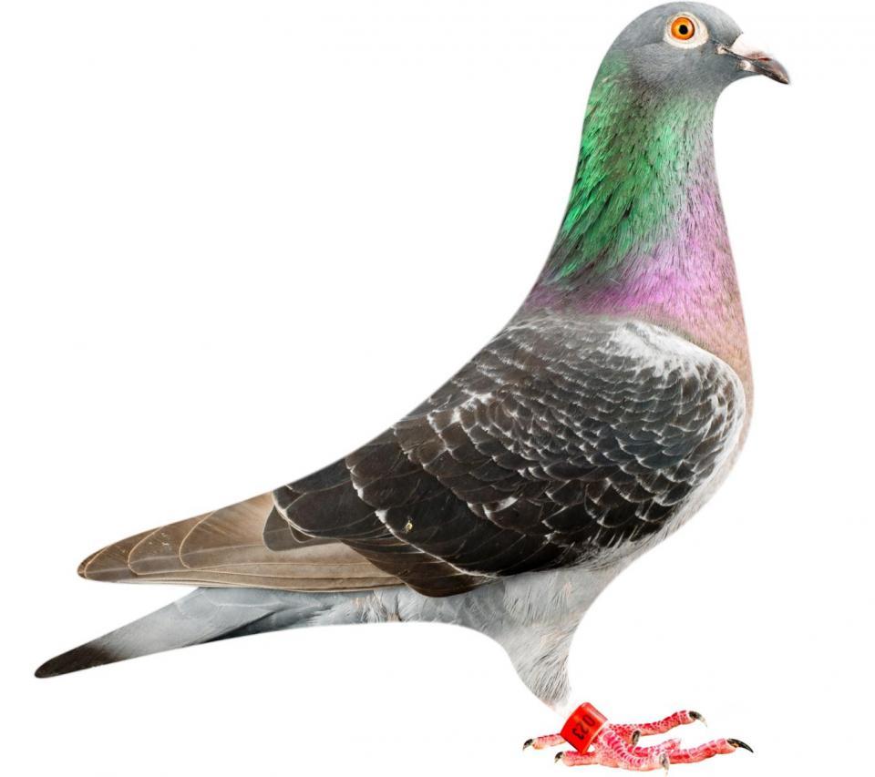 """Picture of pigeon BE12-6196023 """"Zwart Panterke"""""""
