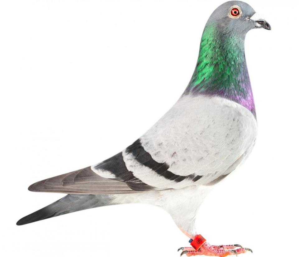 "Picture of pigeon B12-6196060 ""Brazil"""