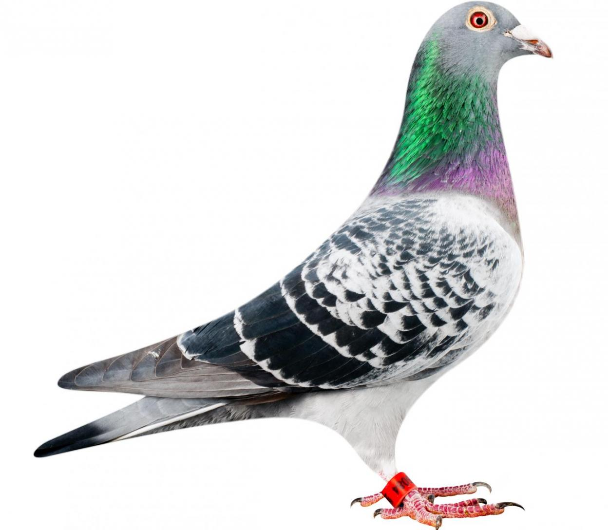 "Picture of pigeon B12-6196084 ""Lotus"""
