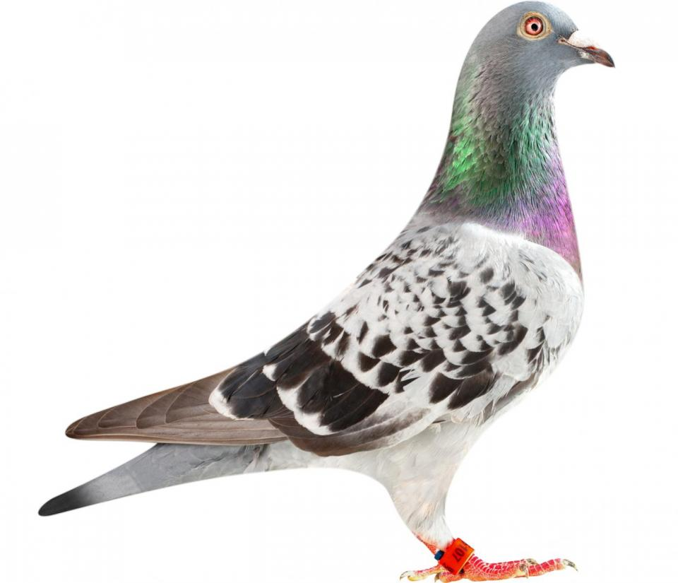 "Picture of pigeon B12-6196107 ""Letra"""