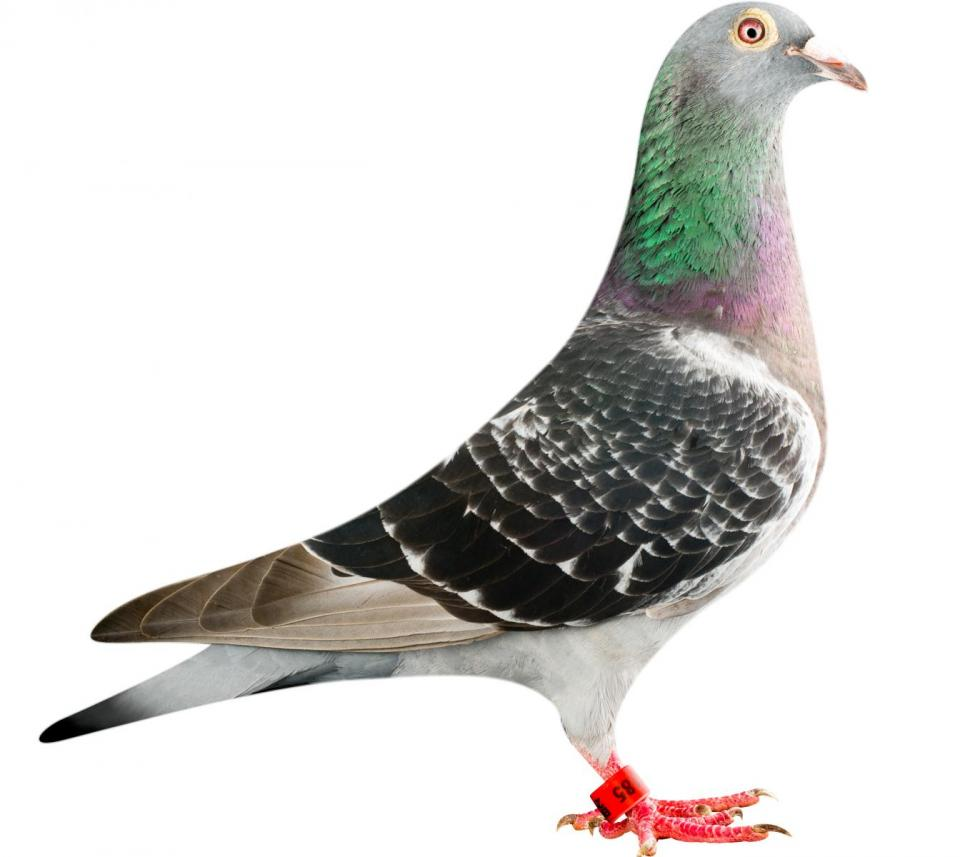 "Picture of pigeon B12-6196185 ""La Perla"""