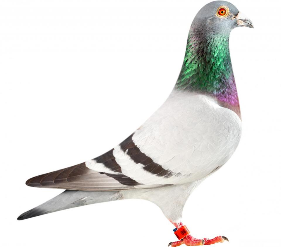 "Picture of pigeon B12-6196286 ""Loki"""