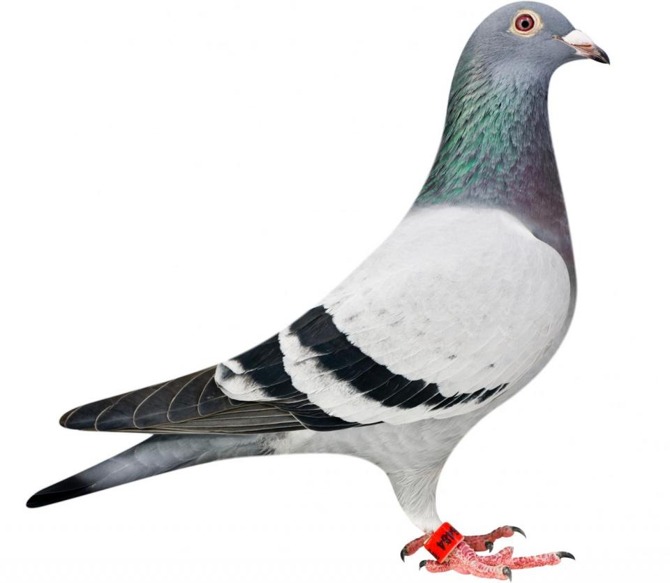 """Picture of pigeon BE12-6196484 """"Julia"""""""