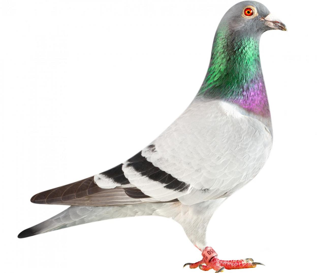 "Picture of pigeon B13-6026050 ""Origi"""