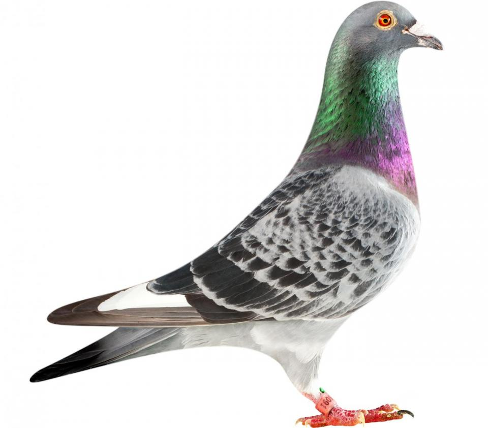 """Picture of pigeon BE13-6026091 """"Lexus"""""""