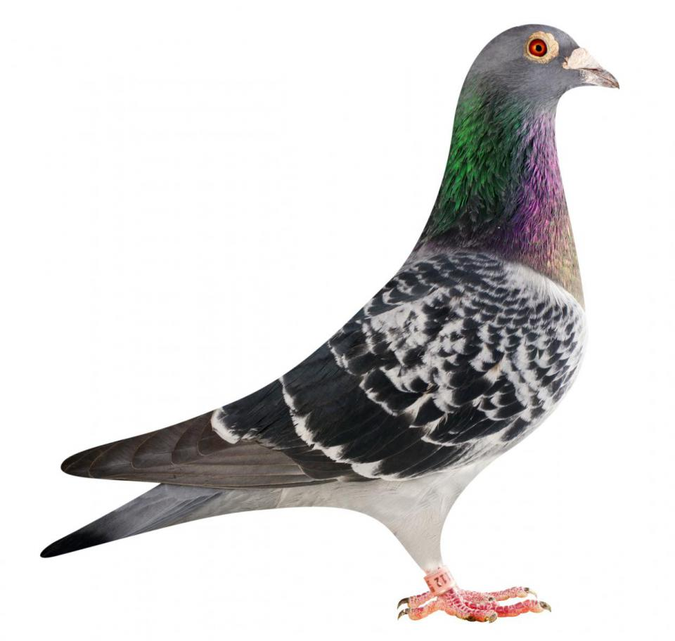 "Picture of pigeon B13-6026112 ""Ruxi"""