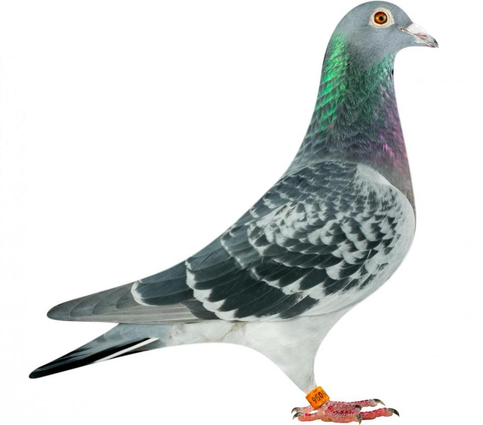 "Picture of pigeon B14-6175056 ""Ariana"""