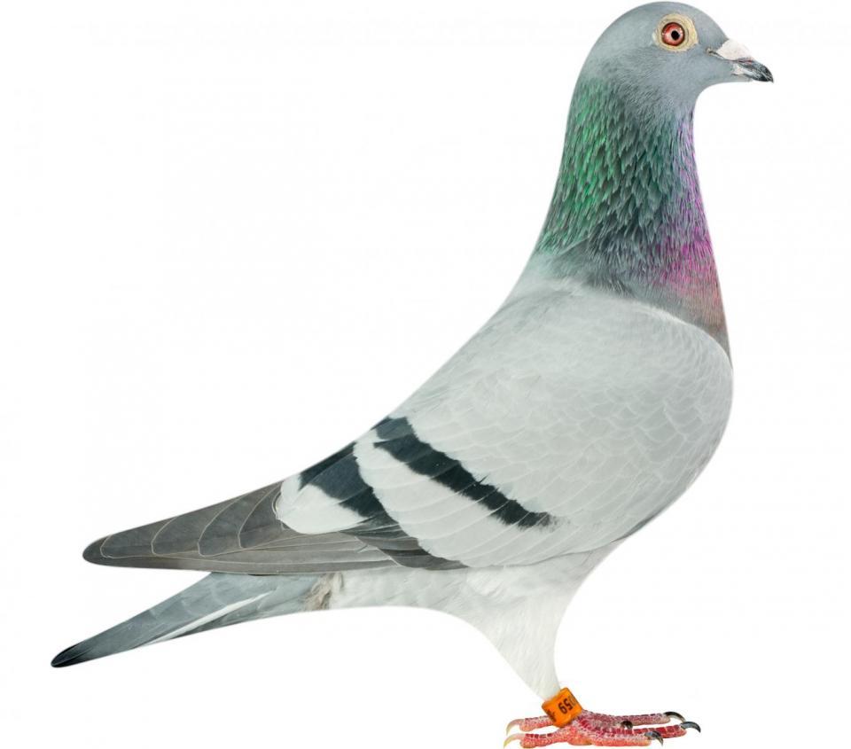 "Picture of pigeon B14-6175059 ""Prada"""