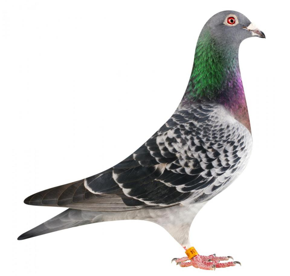 "Picture of pigeon B14-6175134 ""Dolly"""