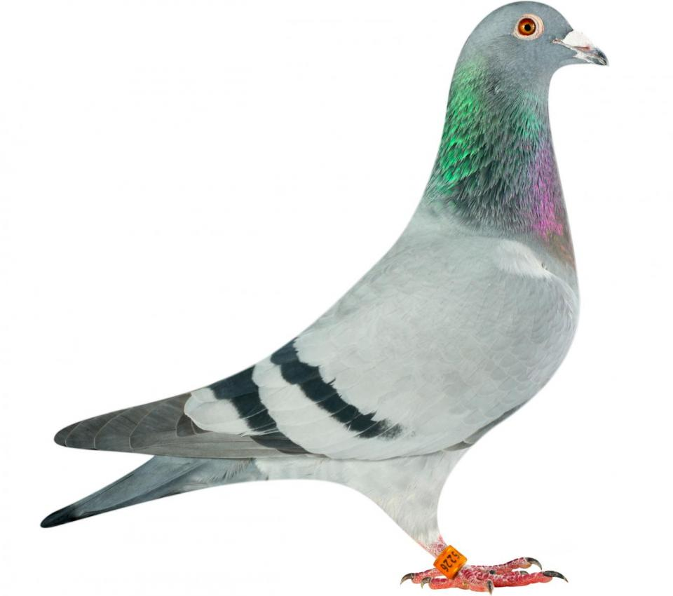 "Picture of pigeon B14-6175226 ""Olympic Eva"""