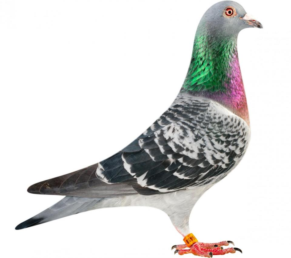 "Picture of pigeon B14-6175418 ""Cobra"""