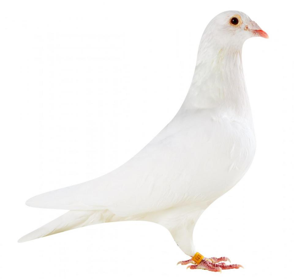 "Picture of pigeon BE14-6175573 ""White Elektro"""