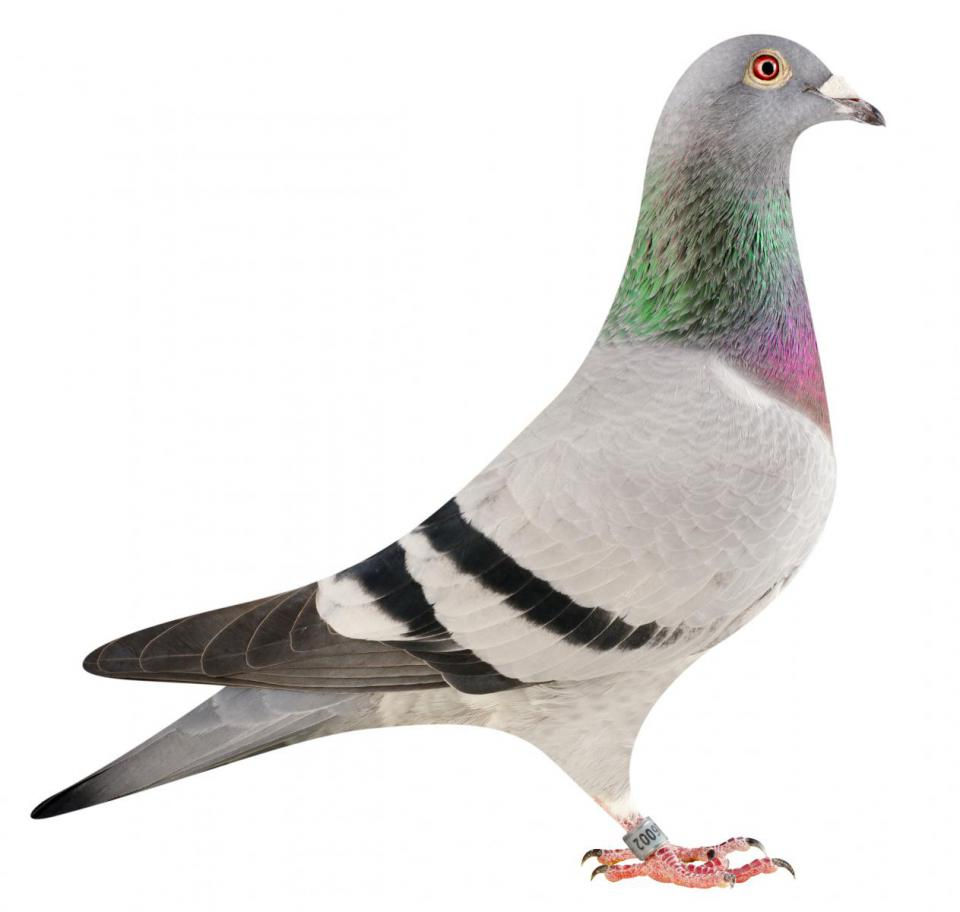 "Picture of pigeon B15-6026002 ""Lilly"""