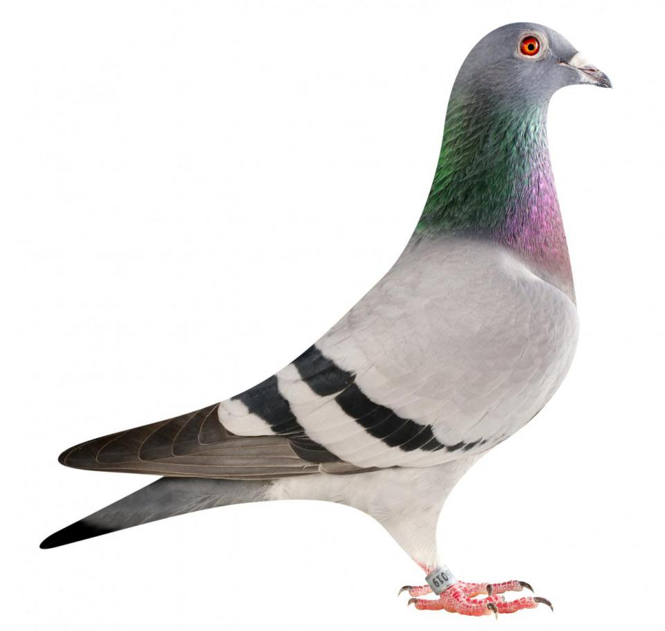 "Picture of pigeon B15-6026019 ""Dubai"""