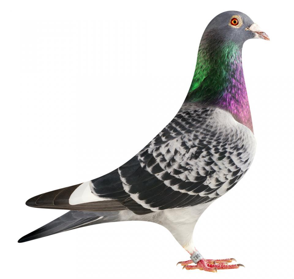 "Picture of pigeon BE15-6026082 ""Samsung"""