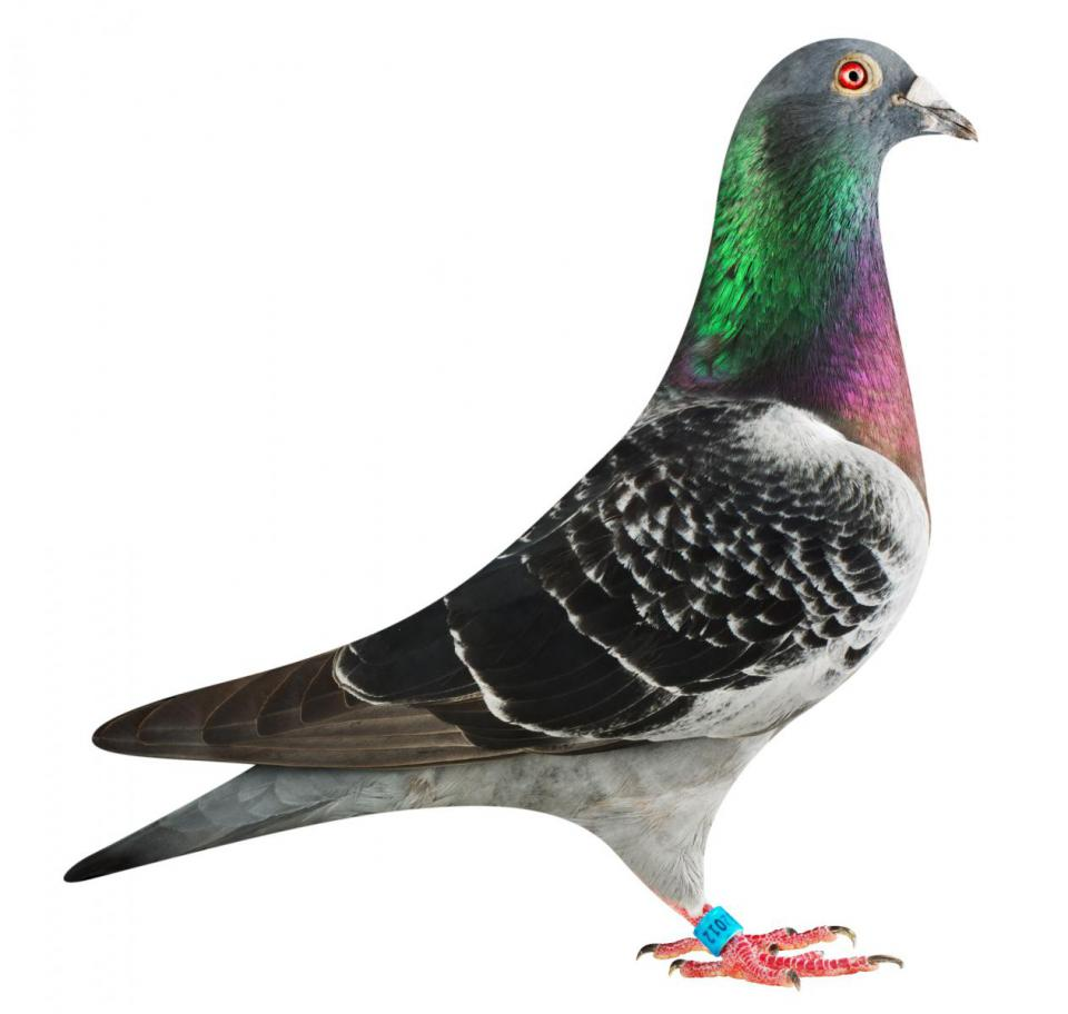 "Picture of pigeon B16-6032012 ""Elektro Junior"""