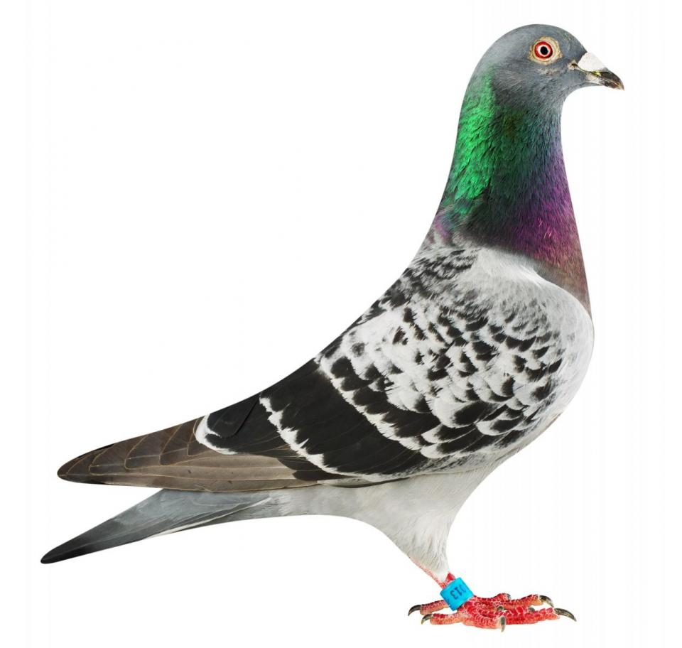 """Picture of pigeon B16-6032013 """"Didi"""""""