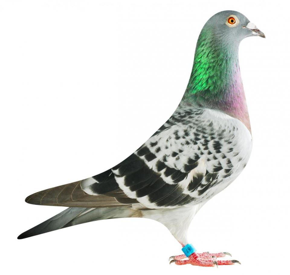 "Picture of pigeon B16-6032067 ""Elektro Lady 67"""