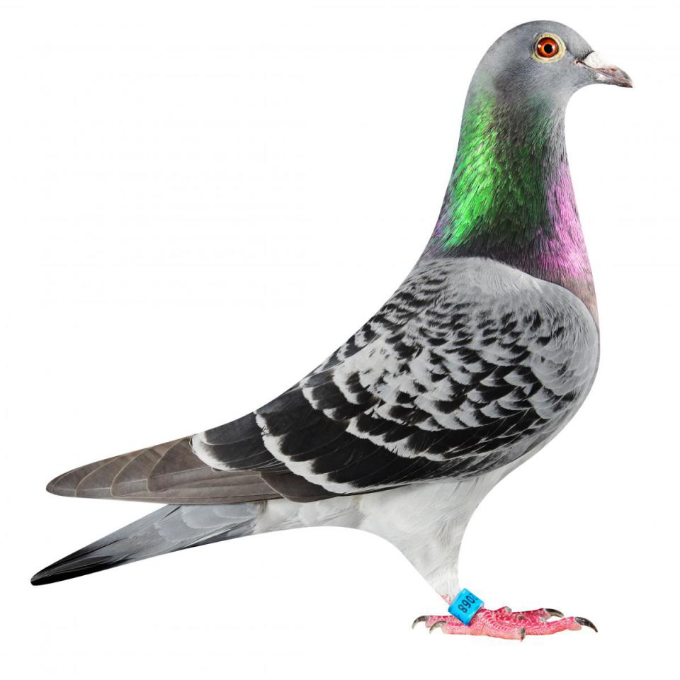 "Picture of pigeon B16-6032068 ""Elektro Lady 68"""