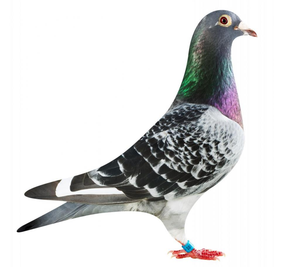 "Picture of pigeon B16-6032101 ""Green Elektro"""