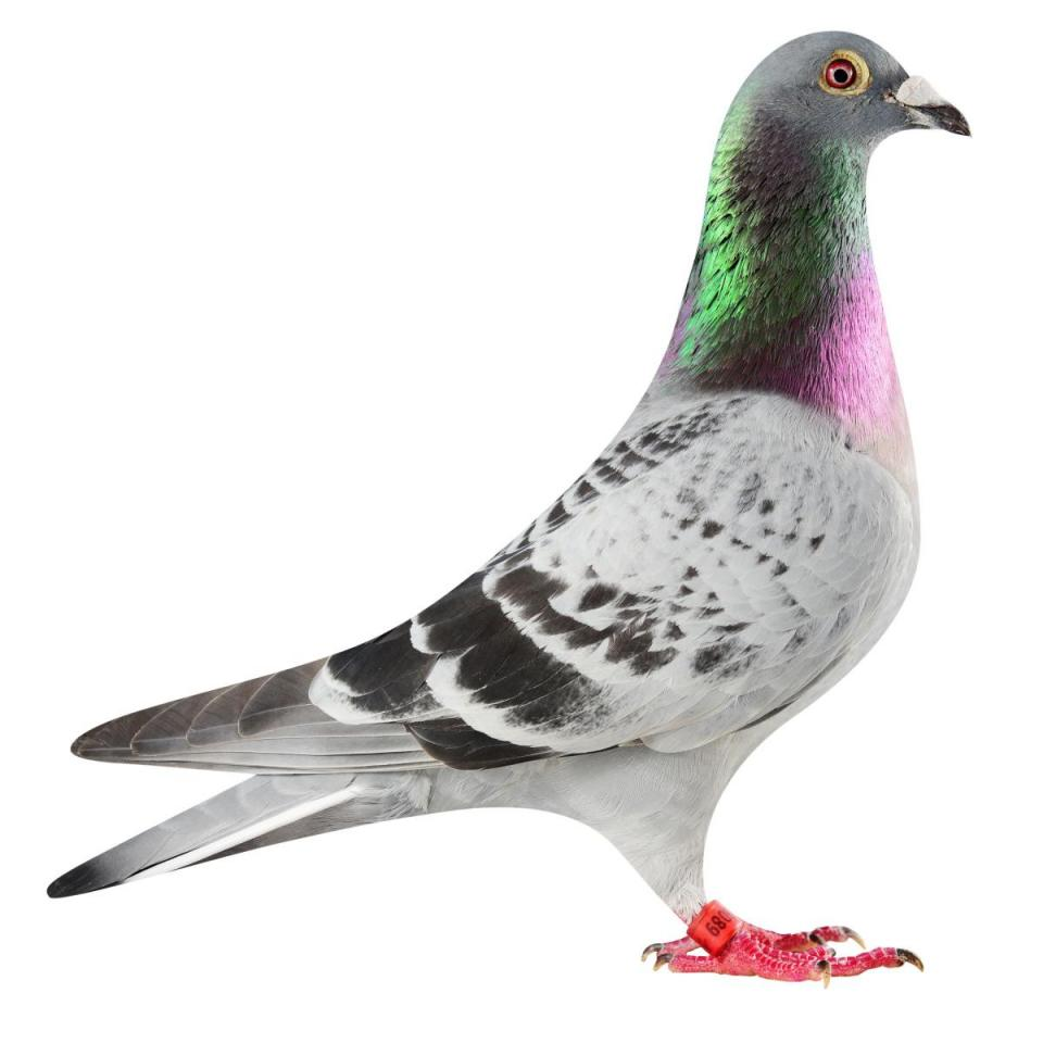 "Picture of pigeon BE17-6025089 ""Iron Man"""