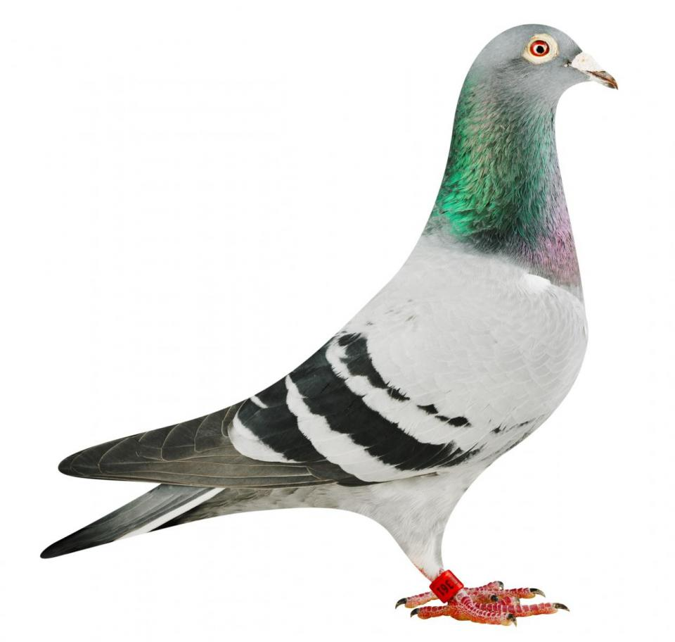 """Picture of pigeon BE17-6025361 """"Puncher"""""""