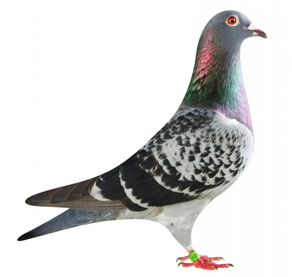 "Picture of pigeon B18-6020277 ""Fanta"""