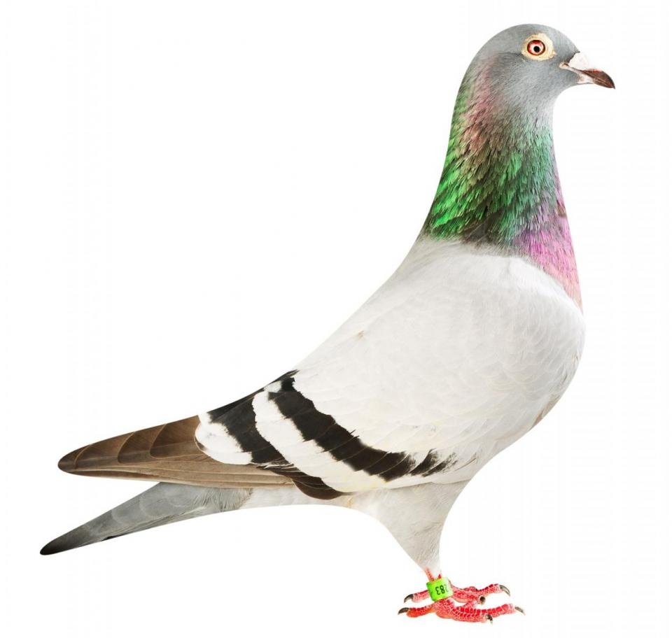 """Picture of pigeon BE18-6020283 """"Olympic La Donna"""""""